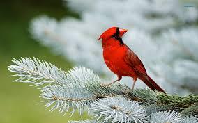 red-birf