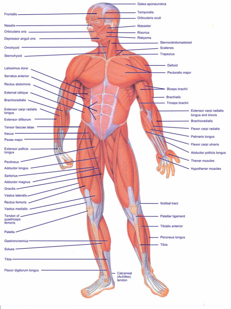 Diagram Of All Muscles In The Human Body Diagram Of All Muscles In