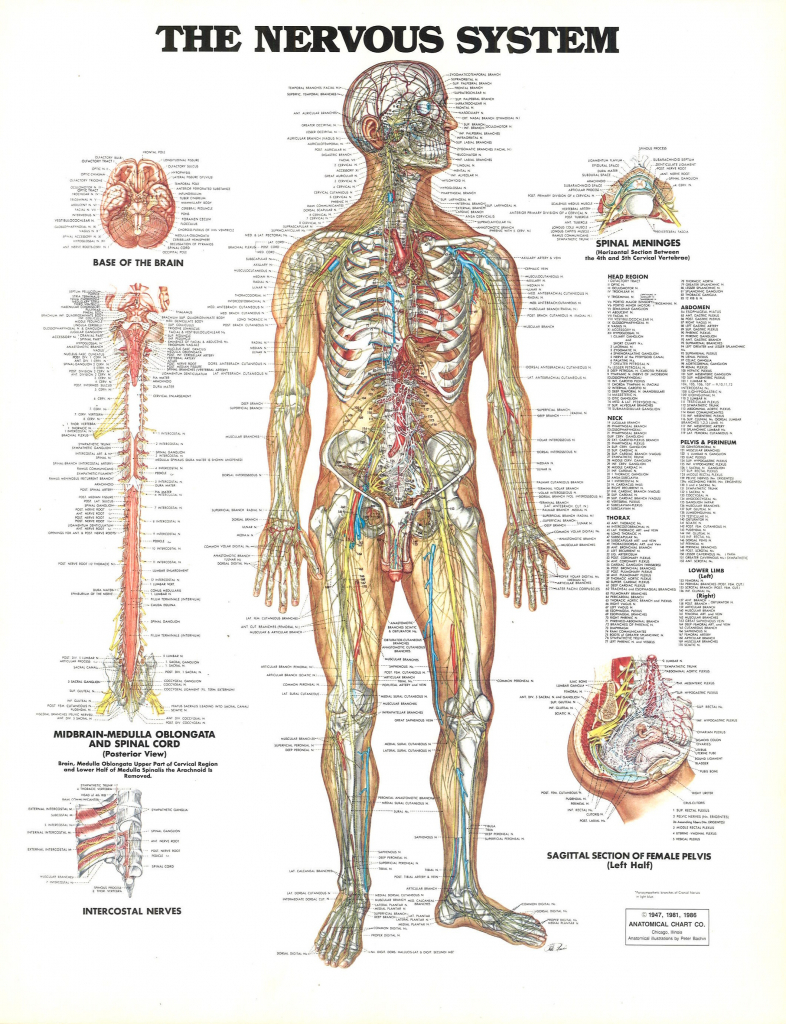 Anatomy Of The Nerves In The Nervous System Nerves In The Nervous ...