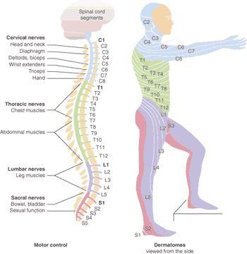 sci nerves
